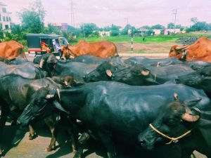 Group of cows on the street
